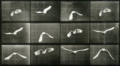 eadweard-muybridge-sequence-of-bird-in-flight-1883-86
