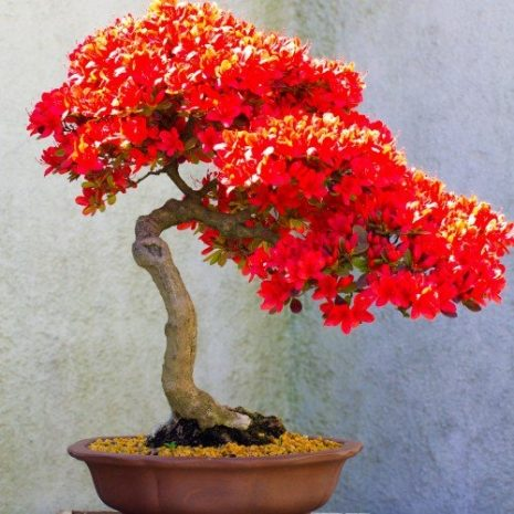 bonsai-tree-types-500x500