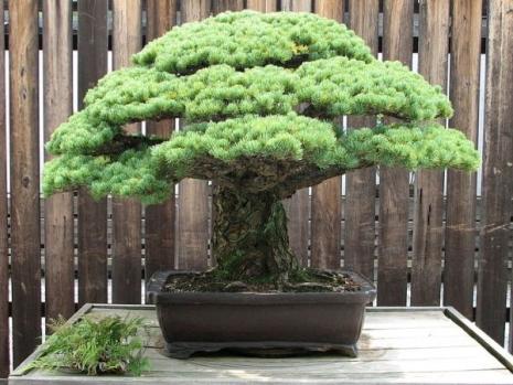 images-2015-08-bonsai_star_390_godina_koji_je_preziveo_napad_na_hirosimu_aps_728252858