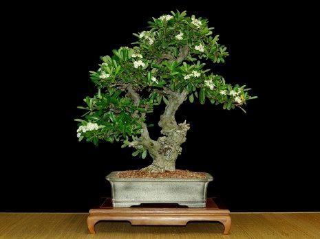na049_pyracantha_angustifolia