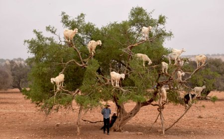 Maroko – Dolina argana, priča o arganovom ulju